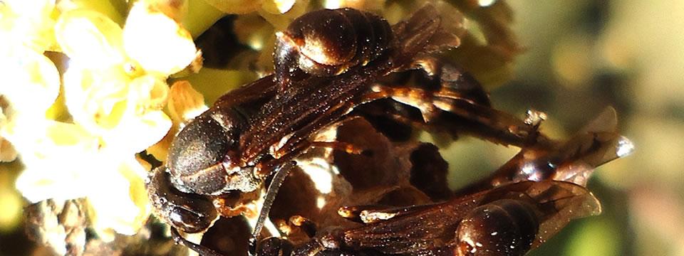 Mischocyttarus cassununga