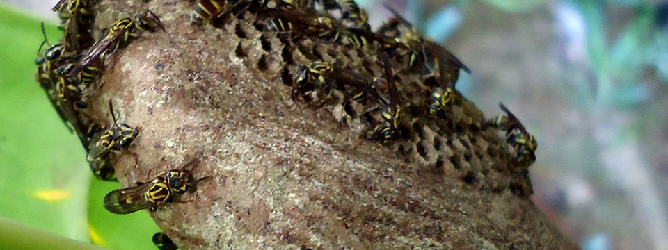 Polybia bistriata